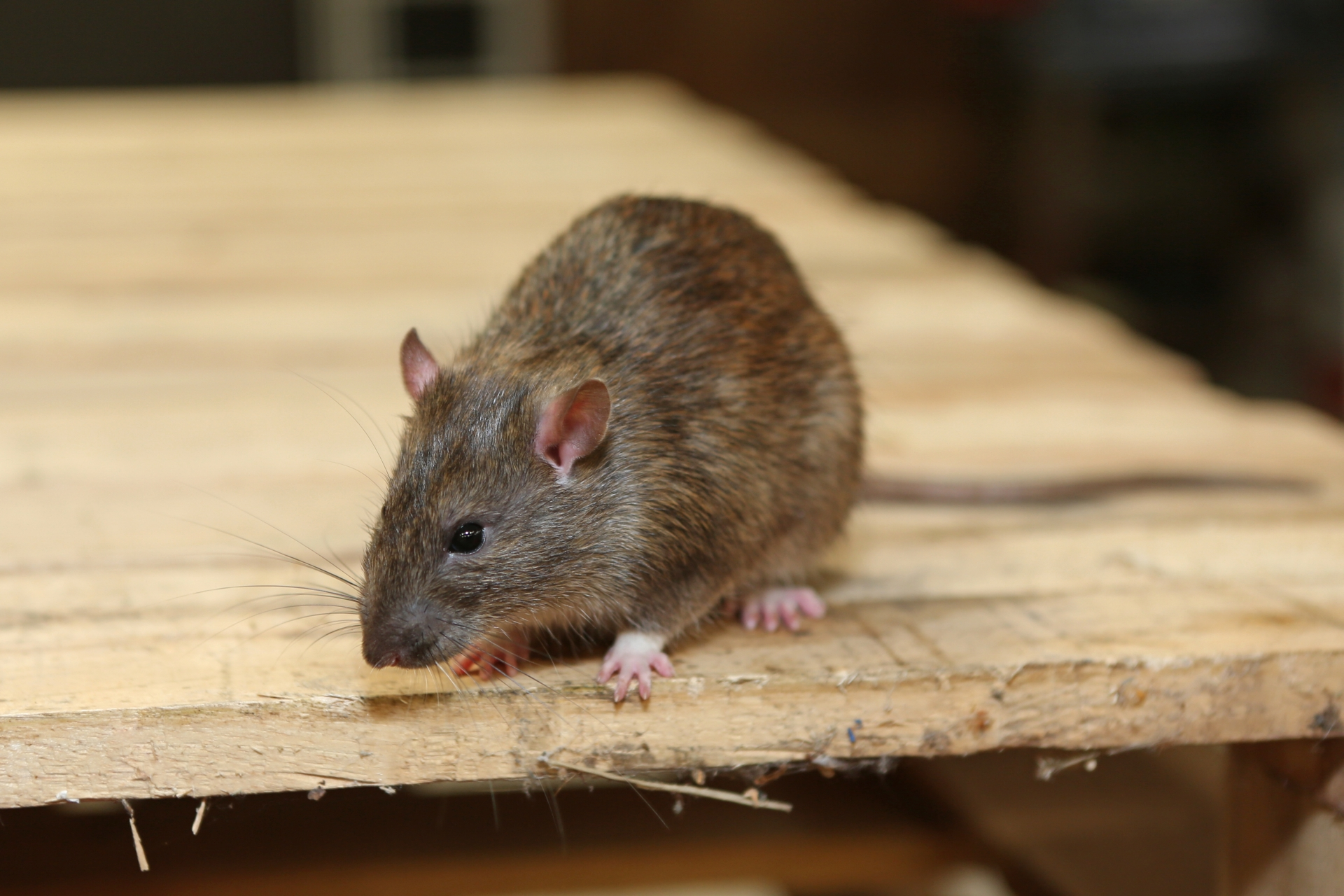 Rat Infestation, Pest Control in Chingford, Highams Park, E4. Call Now 020 8166 9746