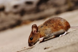 Mouse extermination, Pest Control in Chingford, Highams Park, E4. Call Now 020 8166 9746